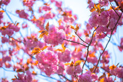 Booming double cherry blossom branches Stock Photo