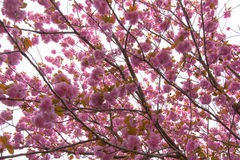 Booming double cherry blossom branches Royalty Free Stock Photos