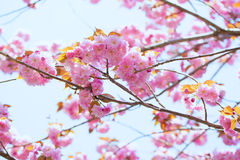 Booming double cherry blossom branches and blue sky Stock Photos