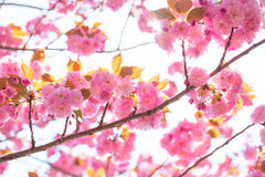 Booming double cherry blossom branches in the blue sky Royalty Free Stock Image