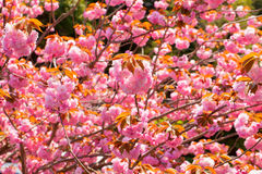 Booming double cherry blossom Royalty Free Stock Photo