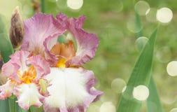 Booming irises Stock Image
