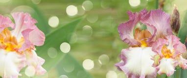 Booming irises Stock Photo