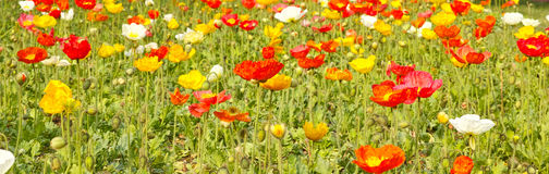 Booming poppies Royalty Free Stock Photography