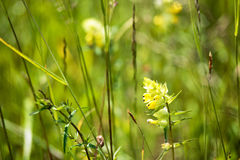 Booming yellow wild flowers on the meadow in summer. Spring flower seasonal nature background Royalty Free Stock Image
