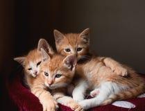 Boomkatjes die samen liggen Stock Foto's