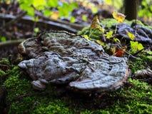 Boompaddestoel in de herfst royalty-vrije stock afbeeldingen