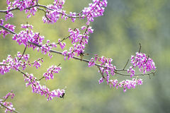 Booms of the Redbud Tree with a bumblebee. Stock Photo