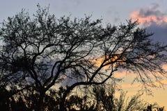 Boomsilhouet tegen de het plaatsen zon Stock Afbeelding