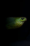 Boomslang Royalty Free Stock Images