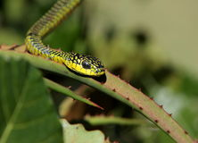 Boomslang on Aloe plant Stock Images