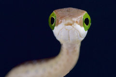 Boomslang / Dispholidus typus Royalty Free Stock Images