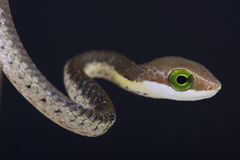 Boomslang / Dispholidus typus Royalty Free Stock Photo