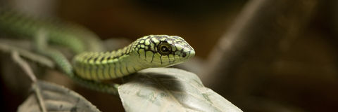Boomslang - dispholidus typus typus Royalty Free Stock Photo