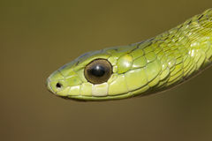 Boomslang snake. Male Boomslang snake (Dispholidus typus) in South Africa Stock Photography