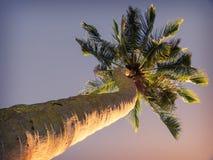 Boomstam een palm Stock Fotografie