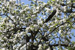boomstam en appelboom stock foto