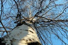 Boomstam en takken van berk tegen de blauwe hemel in de winter royalty-vrije stock foto's