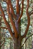 Boomstam en takken van pijnboom royalty-vrije stock foto