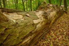 Boomstam in het bos in de herfst royalty-vrije stock fotografie