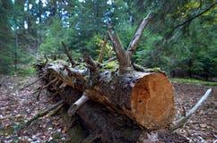 Boomstam in het hout stock foto's