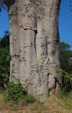 BOOMSTAM VAN BAOBABboom IN AFRIKA stock fotografie