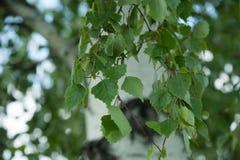 Boomstam van berk met bladeren en nieren Royalty-vrije Stock Foto's