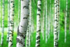Boomstam van berkboom royalty-vrije stock afbeeldingen