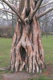 Boomstam van Dawn Redwood (Metasequoia Glyptostroboides) Stock Afbeeldingen