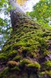 Boomstam van de boom die met groen mos wordt overwoekerd Stock Foto