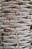 Boomstam van de subsoort van Dracaena ombet schizantha Royalty-vrije Stock Afbeeldingen