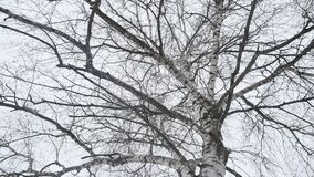 Boomstam van een berk in de de winter droge takken van een boom de aard een landschap in openlucht Rusland stock video