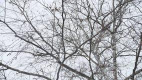 Boomstam van een berk in de de winter droge takken van een boom de aard een landschap Rusland in openlucht stock footage