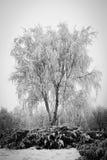 Boomstam van een berk met rijp Stock Afbeeldingen