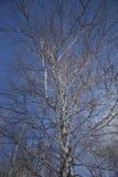 Boomstam van een berk tegen de hemel Royalty-vrije Stock Fotografie