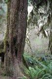 Boomstam van een boom bij gematigde regenwouden royalty-vrije stock afbeelding