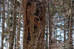 Boomstam van een dode boom in bos royalty-vrije stock foto