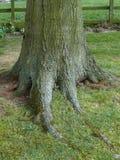 Boomstam van een eiken boom met wortel stock foto