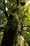 Boomstam van een esdoornboom Royalty-vrije Stock Foto