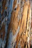 Boomstam van een eucalyptusboom stock foto's