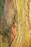 Boomstam van een grote boom stock afbeeldingen