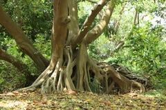 Boomstam van een grote oude boom in het bos stock afbeelding