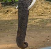 Boomstam van een mannelijke olifant stock afbeelding