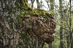 Boomstam van een oude boom op de lentebos Stock Fotografie