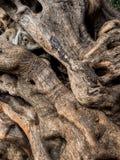 Boomstam van een oude olijfboom royalty-vrije stock afbeeldingen