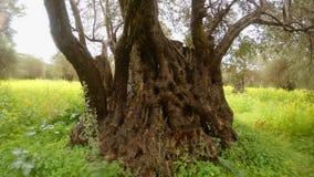 Boomstam van het close-up van de 400 éénjarigenolijfboom onder zware regen op het gebied van raapzaad, de diepe winter in de oude stock footage