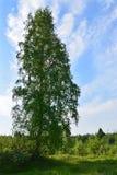 Boomstam van hoge berk? , omhoog zich uitrekt in de hemel Stock Foto