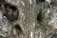 boomstam van olijf stock foto's