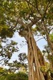 Boomstam van vernauwingsfig. in een dierlijk park Royalty-vrije Stock Foto's