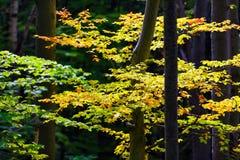 Boomstammen met takken door kleurenbladeren met het bos worden behandeld dat Royalty-vrije Stock Afbeelding